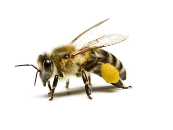 save Canada's bees