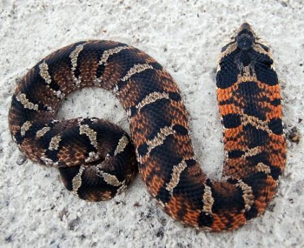 snakebites canada