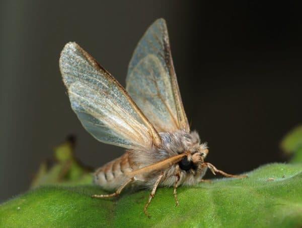 Spruce budworm moths