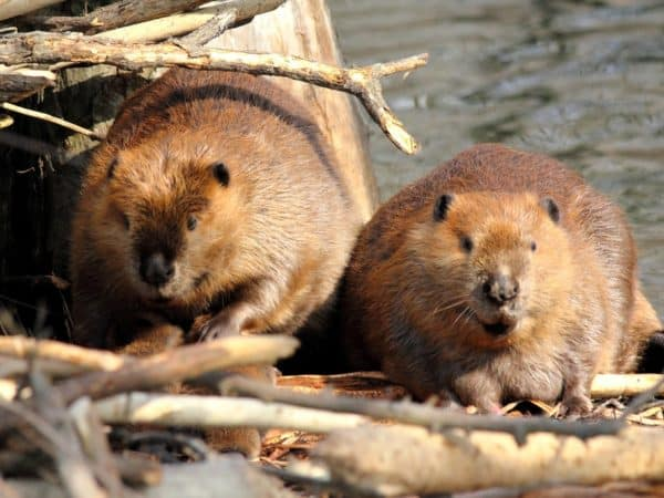 imported Canadian beavers